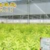 Professional sandalwood seedlings (China sandalwood seedlings will be professional)