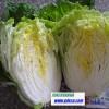 fresh Chinese cabbage