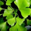 Ginkgo Flavone Extract