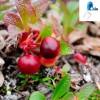 Best quality Bearberry extract, 25%Ursolic acid