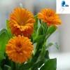 100% Natural Calendula Officinalis Flower Extract