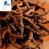 Chinese caterpillar fungus (cordyceps sinensis) extract