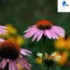 Echinacea Herb P.E polyphenol 4%
