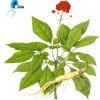 Ginseng extract panaxoside 5% 80%