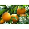 mandarin orange/hybrid orange /pokan/lokan/newhall/murcott