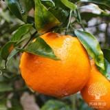 Dekopon/Dekopon Fruit/ponkan O