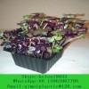 Microgreen Plant Flower Plastic Tray